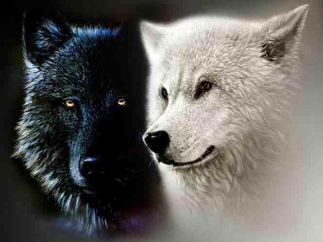 Black white wolf